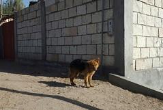 Arequipa - Sabandía (Santiago Stucchi Portocarrero) Tags: arequipa perú santiagostucchiportocarrero sabandía hund perro can cane chien dog hound