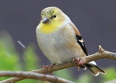 American goldfinch at Lake Meyer Park IA 854A2779 (lreis_naturalist) Tags: american goldfinch lake meyer park winneshiek county iowa larry reis