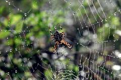 Spooder (Sonnikone) Tags: spider hmhkki nature droplet finland suomi canon eos autumn macro closeup syksy