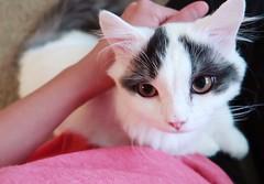 Gorgeous kitten #chobee #munchkin #cat # # # # # # # # # # # (Goboogi.Munchkin) Tags:      munchkin chobee  cat
