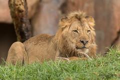 Ernest (ToddLahman) Tags: ernest lion lions lioncamp sandiegozoosafaripark safaripark canon7dmkii canon canon100400 antlers enrichment rain escondido