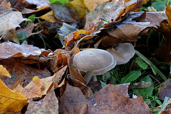 Zugedeckt (Sockenhummel) Tags: fenn herbstbltter pilze reif pilz mushroom eis ice cold freezing frost rauhreif fuji x30 fujifilm finepix fujix30 herbst autumn fall winter natur volkspark bltter blatt leaf leaves kalt