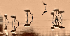 Matrix. (Carlos Arriero) Tags: matrix nature naturaleza carlosarriero nikon sepia agua water valencia laalbufera flamencos flamingos ave bird pjaros reflejo reflections sigma espaa spain contemplar see europa europe 120400mm neogeo d800e