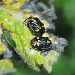 DSC_2474_01 (maurizio.s.) Tags: nikon d300 nikond300 50mmseriee 50mm18 nikon50mm insect verde nero giallo bianco green black white yellow anello di inversione inversion ring
