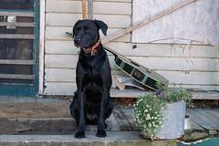 Cinder (Luke Hodde) Tags: dog pet portrait frontporch flowers