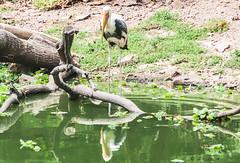 MARABU e I RIFLESSI (cune1) Tags: nature water birds animals river fiume natura vietnam uccelli acqua animali nikond300s