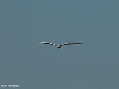 Common Tern (Sterna hirundo) (gilgit2) Tags: pakistan birds fauna canon geotagged wings wildlife feathers sigma tags location species karachi category sindh avifauna sternahirundo sigma150500mmf563apodgoshsm imranshah commonternsternahirundo canoneos70d gilgit2