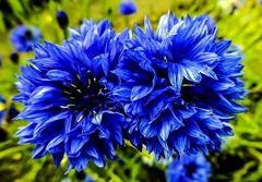 Blues for you (Joni Mansikka) Tags: flowers blue green nature yellow suomi finland petals august cornflower centaureacyanus paimio blåklint ruiskukka ruiskaunokki