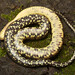 Mississippi Green Watersnake, Juvenile