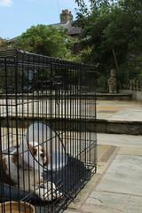 clang clang go the jail guitar doors (Bogart Cat) Tags: his after operation oadby kingcharlescavalier brownandwhitedog oadbydog