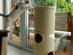 Nelli inspecting the new scratching post III (frankbehrens) Tags: cats cat chats chat gatos gato katze katzen