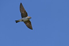Fairy Martin (Rodger1943) Tags: martins australianbirds fairymartin faunainmotion fz1000