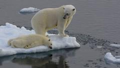 Polar Bear - Ursus maritimus  (Greenland) (61) (Richard Collier - Wildlife and Travel Photography) Tags: wildlife ngc naturalhistory arctic polarbear npc mammals arcticwildlife ursusmaritimus marinemammals