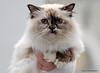IMG_7531a_c (JANY FEDERICO GIOVANNINETTI) Tags: hairy cats cat hair eyes funny soft sweet expressions occhi international felini gatto gatti divertenti pelosi pelo dolci pedigree internazionale sguardi espressioni razza soffice soffici