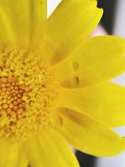 (lucrezia.gallerini) Tags: yellow daisies happiness cheerfulness flowercolors