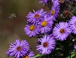 Asters and honeybee................