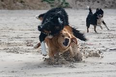FAN_6806.jpg (The Papa'razzi of dogs) Tags: beach efterår dogs water løkken northdenmarkregion denmark dk