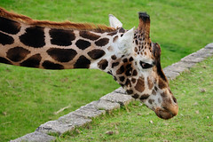 Stretching (EJ Images) Tags: uk england slr zoo nikon nef norfolk giraffe dslr eastanglia 2015 banhamzoo nikonslr d90 banham nikondslr nikond90 55300mmlens ejimages dsc047901