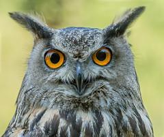 Gufo Reale - Bubo Bubo ( o Gufo Virginiano?) (marypink) Tags: closeup eyes details occhi birdofprey uccello 70300mmf4056 oasisantalessio guforeale strigidi nikond7200 stringiformi