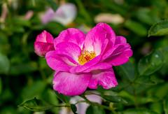 Vancouver Rose (Eridony) Tags: park flower macro nature rose vancouver washington downtown macrophotography clarkcounty metroportland
