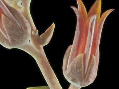 2015-10-31-14.41.00 ZS PMax Dudleya lanceolata-1 (John Rusk) Tags: iso100 plantae crassulaceae rosales dudleya dudleyalanceolata magnoliophyta magnoliopsida tracheophyta taxonomy:class=magnoliopsida taxonomy:order=rosales taxonomy:kingdom=plantae taxonomy:family=crassulaceae lanceleafliveforever fstopf4 taxonomy:phylum=magnoliophyta taxonomy:species=lanceolata zerenestacker lanceleaveddudleya canonfd100mmmacrolens taxonomy:genus=dudleya taxonomy:binomial=dudleyalanceolata taxonomy:common=lanceleafliveforever taxonomy:common=lanceleaveddudleya taxonomy:superphylum=tracheophyta canonfd50mmextensiontube stackof15images olympuspenepl7body shutterspeed16seconds