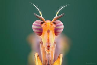 Mosca do brejo (Sciomyzidae)
