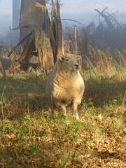 P1170696 (ianpreston) Tags: sheep derbyshire nationaltrust calke ticknall calkeabbey
