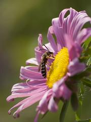 L'arpenteuse des coeurs **--- °-°-° (Titole) Tags: guêpe wasp reinemarguerite titole nicolefaton pink asterdechine chinaaster friendlychallenges challengegamewinner challengeyouwinner cyunanimous thechallengefactory unanimouswinner