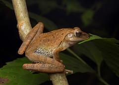 IMG_0541-0(W) Four-lined tree frog (Polypedates leucomystax) (Vince_Adam Photography) Tags: amphibian malaysia langkawi katak amfibia polypedatesleucomystax fourlinedtreefrog katakpokok spotleggedtreefrog frogsofmalaysia frogsofasia frogsofsoutheastasia katakkakiberbintik