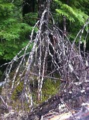 Anglų lietuvių žodynas. Žodis witch-broom reiškia ragana-šluota lietuviškai.