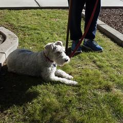 Taz (Lainey1) Tags: leica dog taz terrier foxterrier tazzy wirehairfoxterrier wirehairedfoxterrier lainey1 leicadlux4 elainedudzinski