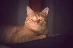 Fiumi (Juanedc) Tags: espaa orange pet pets animal fauna cat spain feline zaragoza gato aragon felino es naranja mascota mascotas saragossa fiumicino anaranjado miyo fiumi valdespartera