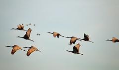 IMG_0698 (Boered) Tags: birds indiana cranes seymour migration sandhillcrane