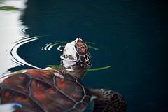 honu (explored) (heartinhawaii) Tags: vacation nature hawaii turtle maui honu seaturtle marinelife mauioceancenter 13thanniversary explored saltwaterpond nikond3300 maui2015 turtleupforair
