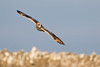 Short Eared Owl (Andrew Haynes Wildlife Images) Tags: s bee