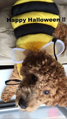 molly-the-bee--shes-one-of-chewy-and-goldies-litter-girls-_22458097840_o