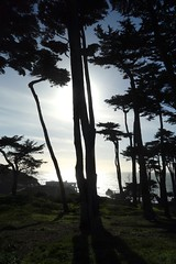 cypress trees, Point Lobos (vhines200) Tags: sanfrancisco tree pacificocean landsend cypress pointlobos 2015