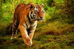 Tiger Tiger (nic_r) Tags: nikon wildlife marty tigris siberiantiger amurtiger panthera highlandwildlifepark altaica d5100