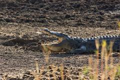 Crocodile Dundee (felipeepu) Tags: africa south aligator safari crocodile