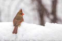 drifting (jimmy_racoon) Tags: winter snow nature birds canon is cardinal mk2 5d 70200 f4l 70200f4lis canon5dmk2