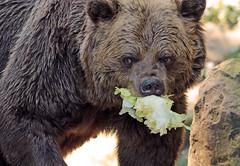 european brown bear Ouwehands JN6A0747 (j.a.kok) Tags: beer bear bruinebeer brownbear ouwehands ouwehandsdierenpark predator