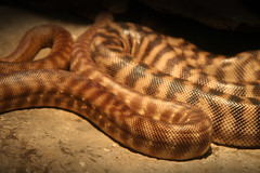 Coiled Snake (shaire productions) Tags: animals image picture reptile creature nature snake serpent scales scaley coils coiled slither pattern academyofsciences