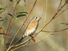 Eastern Bluebird (jdf_92) Tags: indiana bird bluebird yellowwoodstateforest easternbluebird sialiasialis