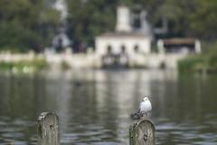 Hyde Park (albertoqft) Tags: gaviota naturaleza londres hyde park lago nublado