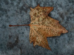 1 Proof in Autumn Beauty (Mertonian) Tags: leaf 1 autumn fall texture beauty beautiful veins colors mertonian robertcowlishaw art nature wet canon powershot g7x mark ii canonpowershotg7xmarkii awe wonder ineffable macro seasons brown yellow gray cement concrete lookingdown lunchwalk