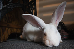 (Theresa Best) Tags: bunny animal pet rabbit whiterabbit canon canon760d canon8000d canont6s cute theresabest sproutingvisions theresa best sprouting visions adorable
