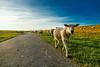 Schafsherde (mirko.borgmann) Tags: schaf topf25 2549 faves fz1000 panasonic urlaub holiday nordsee deich sheep herde sonne abend evening animal tier way weg bliue sky himmel perspektive