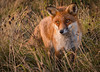 Fox at Alum Bay, Isle of Wight (Elm Studio) Tags: copyright copyrighted jeffmorgan elmstudio jeffelmstudiocom wwwelmstudiocom 4407542933700 isleofwight morgan nature alumbay gb england solent uk totland freshwater fox evening gbr