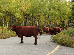Sometimes it's wildlife, sometimes it's .... cows (annkelliott) Tags: alberta canada kananaskis kcountry rockymountains canadianrockies nature scenery trees woodland forest road animal cow cows herd wandering blockingtheroad outdoor summer 10september2016 fz200 fz2004 annkelliott anneelliott anneelliott2016 allrightsreserved