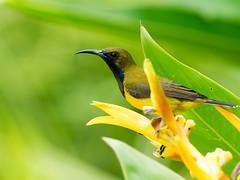 20160928-EM1X7314 (shutterblades) Tags: birds gardensbythebay olivebackedsunbird olympusem1 olympusmzuiko300mmf4pro